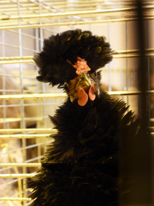 salon de l'Aviculture de Paris du 22/02/2014 au 02/03/214 - Page 4 957651P1130656