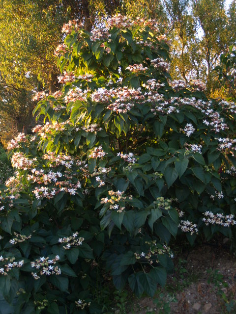clerodendron trichotomum 958293P8302453