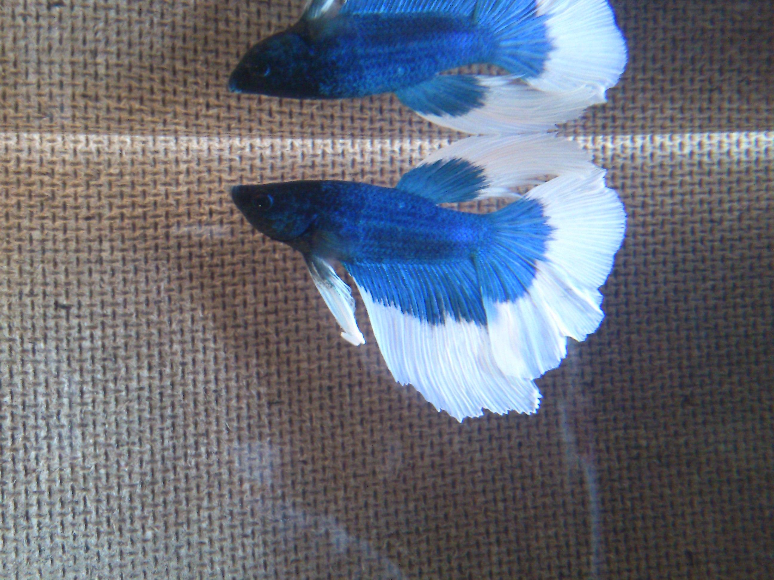Mon nouveau Betta bleu et blanc 968165DSC0531