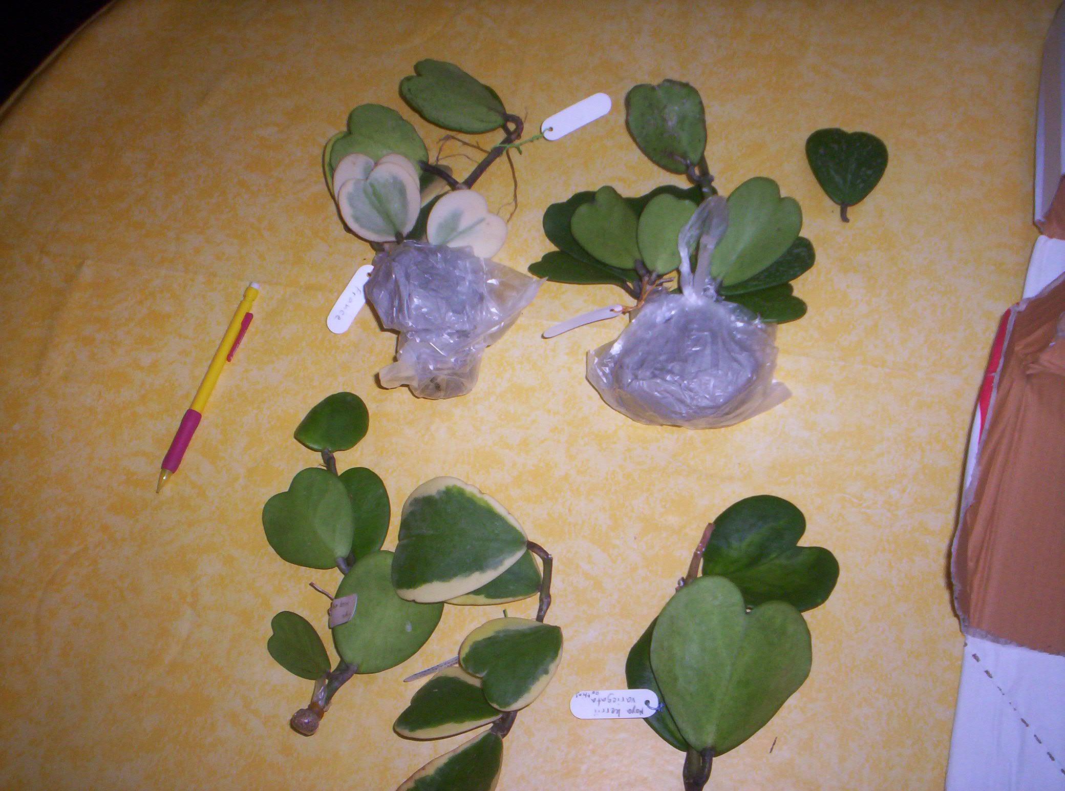 4 variétés de Hoya Kerii importés de thailande - Page 2 9740611000749