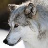 Les images des loups 976977imginanna