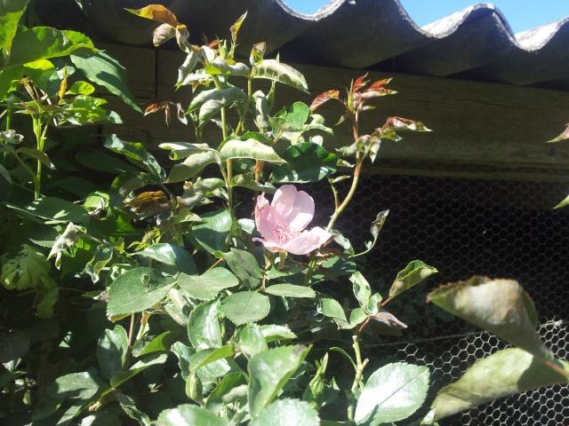 Roses et rosiers 2017  97727920170419105807