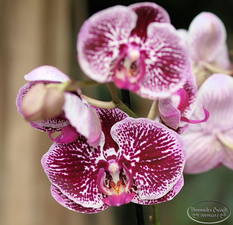 Mes Orchidées et Moi 980177903