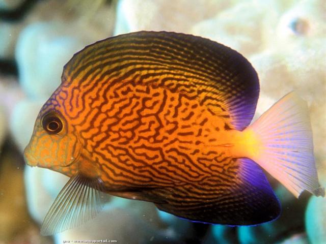 Quel est votre poisson préféré?? - Page 2 982592bedotia1315382511ctenochaetushawaiiensisjuvenile
