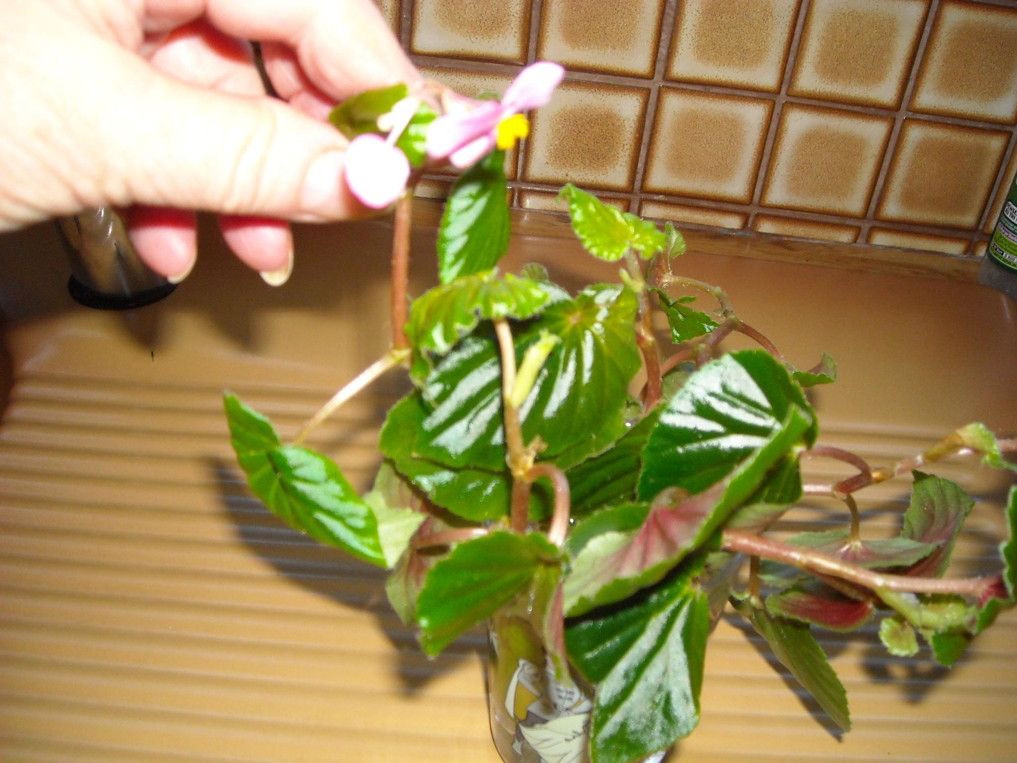 Begonia Caobangensis 989334DSCN5961