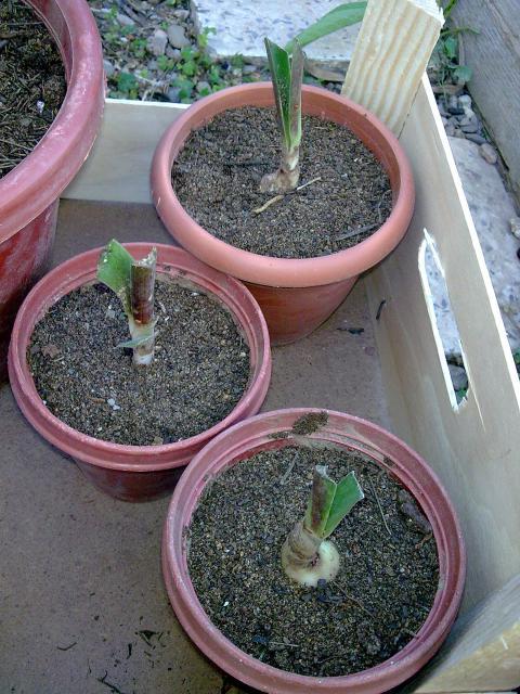 Amaryllis hippeastrum culture entretien floraison - Entretien orchidee apres floraison ...
