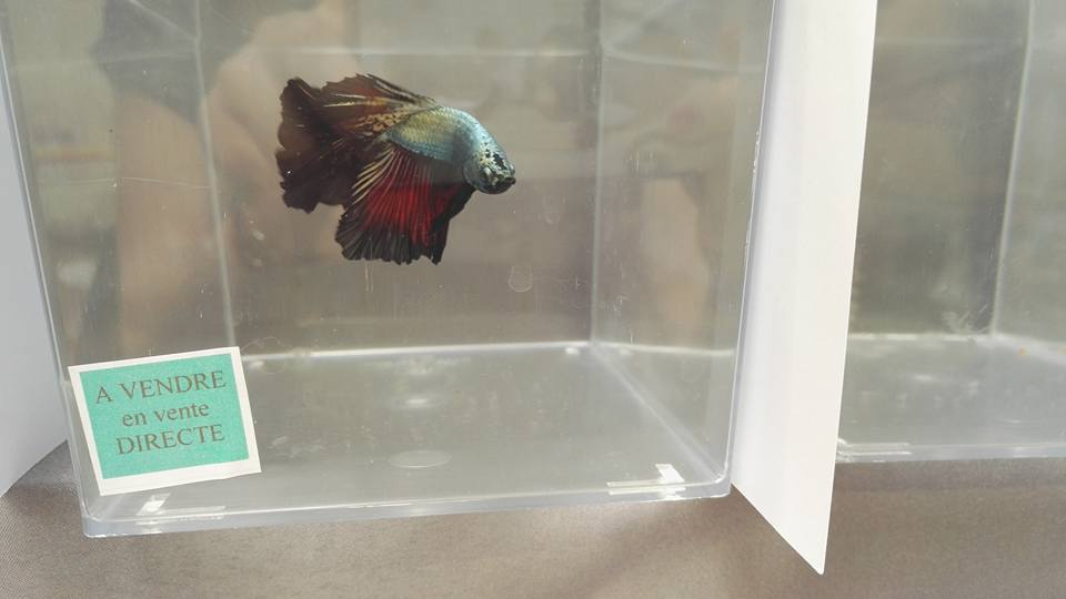 APRES Swiss Betta Show, Cernier, 2017, résultats, photos... 992786186998229355568965843021258410891346828305n