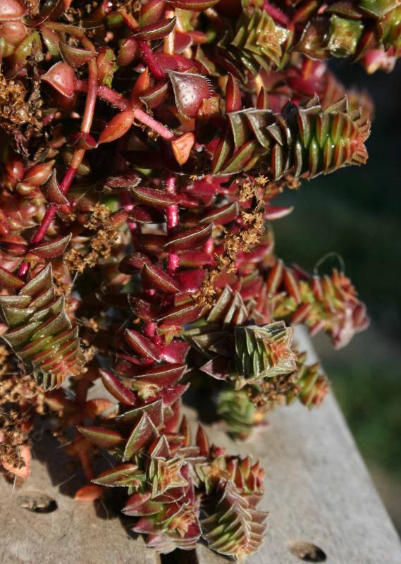 Crassula capitella ssp thyrsiflora 997920crassulacapitellasspthyrsiflora