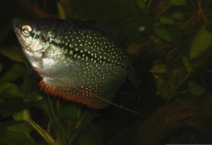 Ménagerie, plus de 3.000L d'aquariums - Page 2 Mini_155373GouramiPerl0050