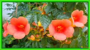 j'hésite !! Mini_194624bignonecampsisgrandifloravisoflora30609
