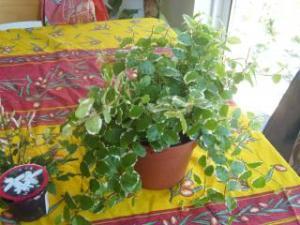 Ficus rampant , Ficus pumila  Mini_235381achat2
