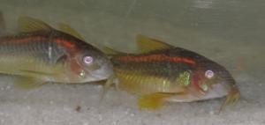 Ménagerie, plus de 3.000L d'aquariums - Page 2 Mini_243593CorydorasspCW0100002