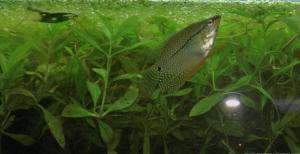 Ménagerie, plus de 3.000L d'aquariums - Page 2 Mini_290066GouramiPerl0052