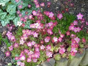 mes pavots du jardin Mini_325479Saxifrage002