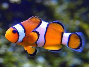 la mer  Mini_370067poissonclown