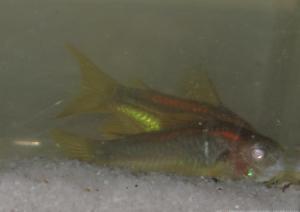 Ménagerie, plus de 3.000L d'aquariums - Page 2 Mini_380524CorydorasspCW0100004