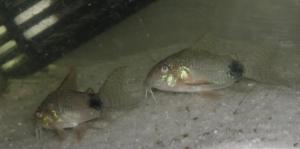 Ménagerie, plus de 3.000L d'aquariums - Page 2 Mini_416104CorydorasCaudimaculatus0005
