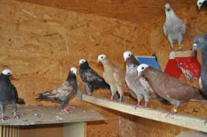 Pigeons de vol catalans à tête de moine Mini_428317DSC0711