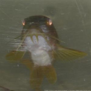 Ménagerie, plus de 3.000L d'aquariums - Page 2 Mini_466699CorydorasspCW0100010