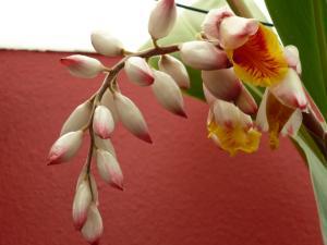 Floraison alpinia zerumbet Mini_488121alpiniazerumbet