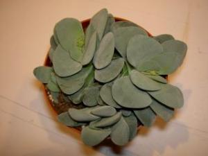 [ Crassula 'Morgan's Beauty' ] Mini_548704015JPG
