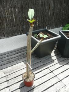 gardenia tahitensis - Page 6 Mini_611257P1020286