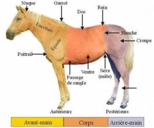 Ce qu'il faut savoir pour faire un rp avec un cheval Mini_646887anatomiecheval