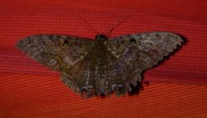 Lépidoptères - Lepidoptera