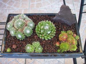 succulente au jardin (sempervivum) Mini_684862Paysagesec002