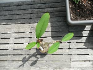 gardenia tahitensis - Page 6 Mini_721866P1020285