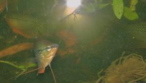 Ménagerie, plus de 3.000L d'aquariums - Page 2 Mini_786507GouramiPerl0042