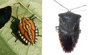 Hémiptères - Hemiptera