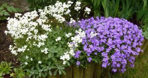 Thème du mois de Mai 2013 : Le printemps est enfin là ! Explosion de la nature Mini_843895Aubrite001