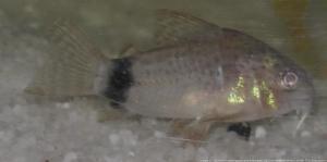 Ménagerie, plus de 3.000L d'aquariums - Page 2 Mini_859200CorydorasCaudimaculatus0010