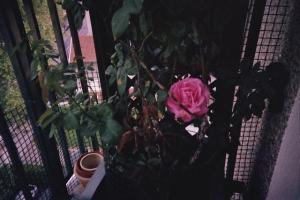 Mes rosiers  Mini_917852rosiercuisine3jpg