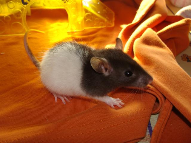 [Belgique-Morialmé]18 rats de sauvetage à adopter - Page 2 104830DSC03056