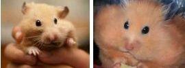 Hamster doré 1160761