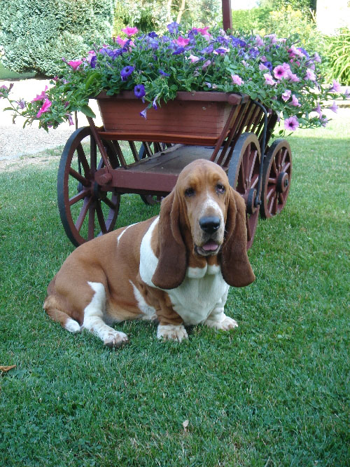 Basset Hound 125404normal_1154461259