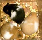 Hamster doré 137563bicolore