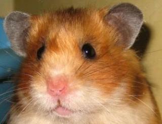 Hamster doré 1610701