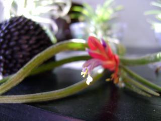 Floraison de tillandsia caput medusae 164327DSC09002bis