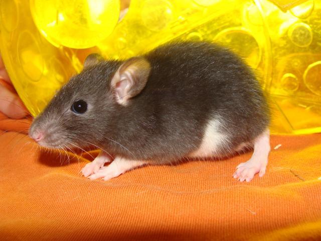 [Belgique-Morialmé]18 rats de sauvetage à adopter - Page 2 167931DSC03016