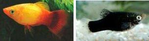 Xiphophorus maculatus 1787722