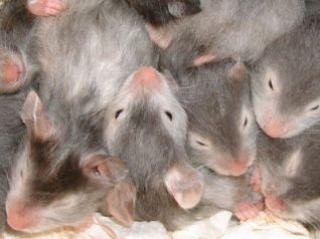 Hamster doré 19316825_jours