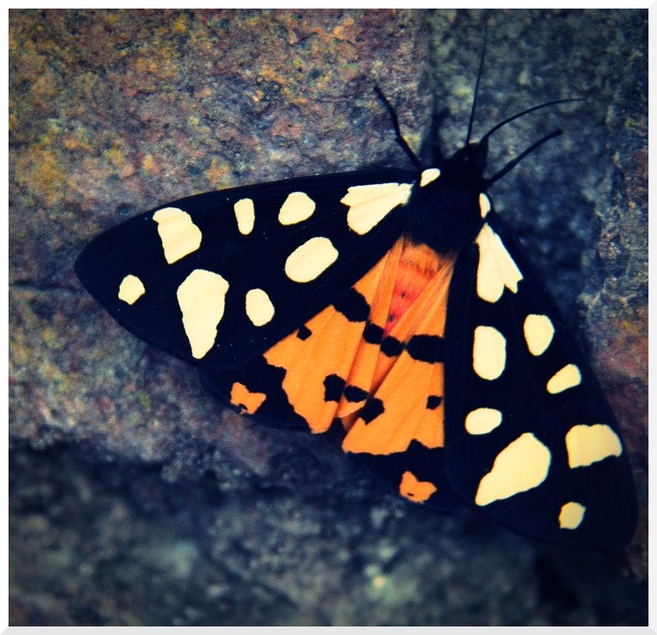 Papillon coloré 248929IMG_9040