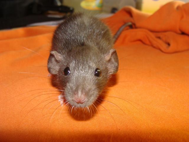 [Belgique-Morialmé]18 rats de sauvetage à adopter - Page 2 261235DSC03005