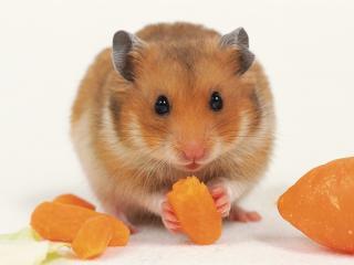 Hamster doré 2842132