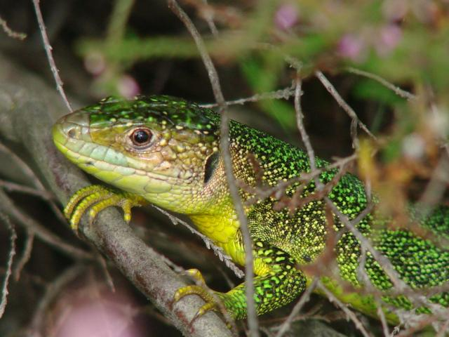 Lézards français 290857photos_523