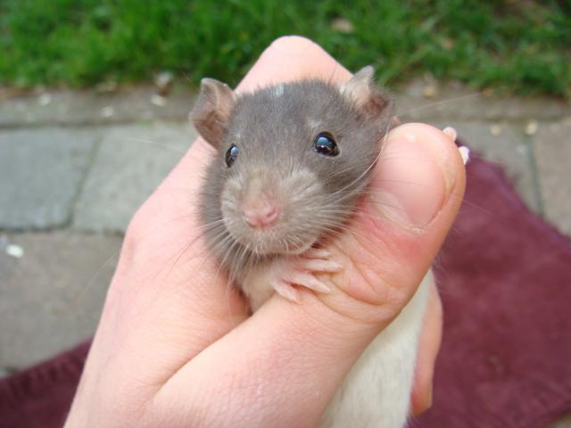 [Belgique-Morialmé]18 rats de sauvetage à adopter 32990DSC02818