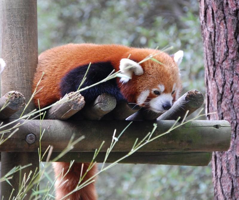 [Ailurus fulgens] Petit Panda 330368Petit_Panda